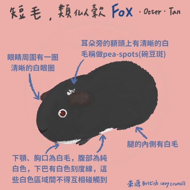 天竺鼠品種-fox