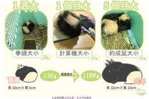 天竺鼠體型變化