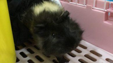 Photo of 天竺鼠墊材挑選-3個步驟選擇適合天竺鼠的地墊