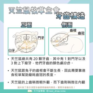 天竺鼠牙齒構造