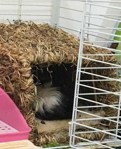 天竺鼠睡窩
