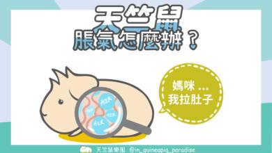 Photo of 天竺鼠脹氣-天竺鼠脹氣要怎麼處理?