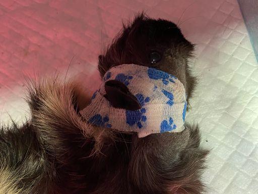 天竺鼠朵朵術後情況