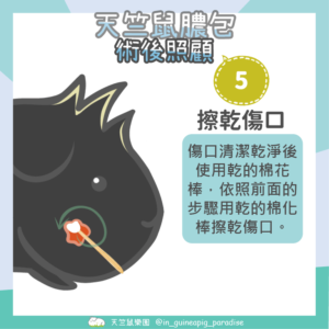 天竺鼠膿包傷口清潔步驟5