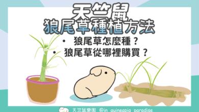 Photo of 狼尾草種植方法-天竺鼠可食用的狼尾草