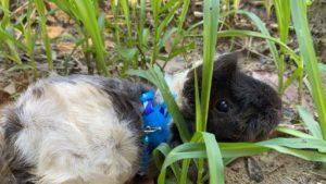 天竺鼠朵朵在草地玩