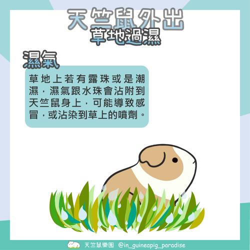 天竺鼠外出草地濕氣