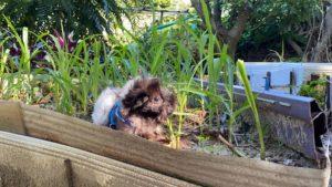 天竺鼠戶外吃草照片