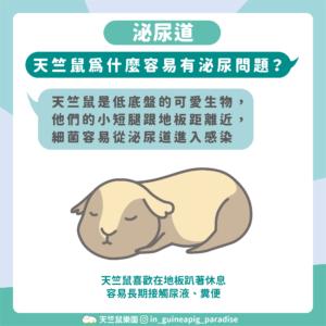 天竺鼠泌尿道感染原因