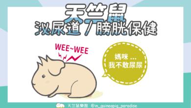 Photo of 天竺鼠泌尿道保健-天竺鼠常見泌尿道、膀胱問題