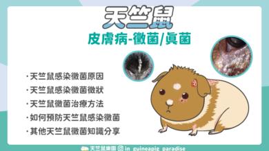 Photo of 天竺鼠黴菌感染-如何治療天竺鼠黴菌