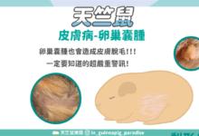 Photo of 天竺鼠卵巢囊腫,注意腹部脫毛警訊!