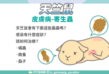 Photo of 天竺鼠有蟎蟲、跳蚤怎麼辦?3種天竺鼠寄生蟲