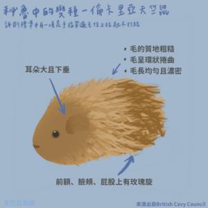 天竺鼠品種-倫卡里亞天竺鼠