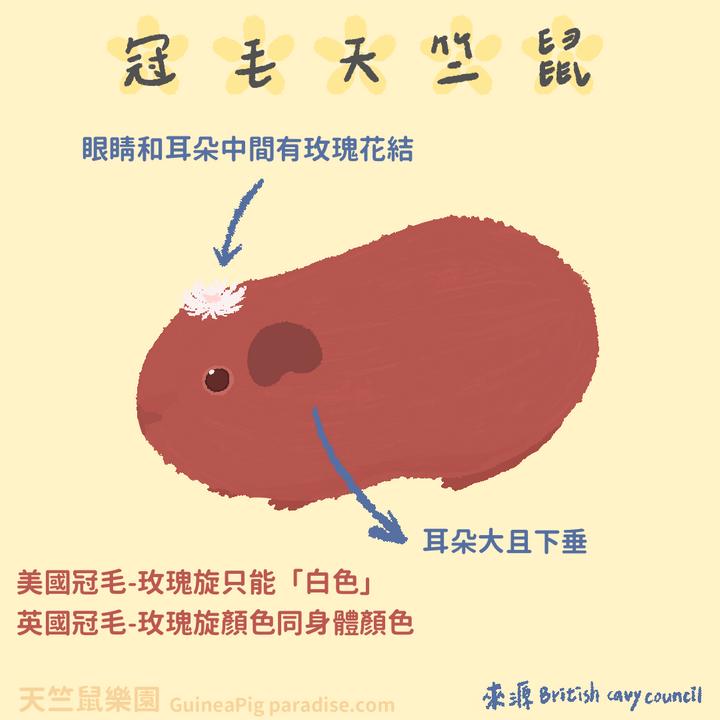 天竺鼠品種-冠毛天竺鼠