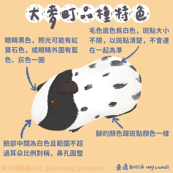 天竺鼠品種-大麥町
