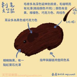 天竺鼠品種-次毛