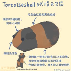 天竺鼠品種-玳瑁天竺鼠