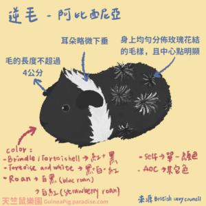 天竺鼠品種-阿比西尼亞