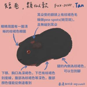 天竺鼠品種-tan