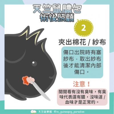 天竺鼠膿包傷口清潔步驟2